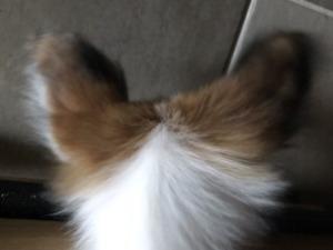 パピヨンの耳は蝶々